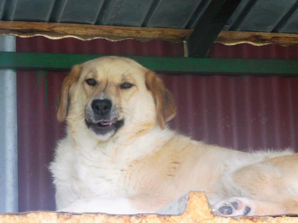 SHYVA - femelle croisée Labrador de taille moyenne à grande, née environ en février 2014 - (Pascani) adoptée par Aurélie (Belgique) - DECEDEE - Page 3 Shyva_11