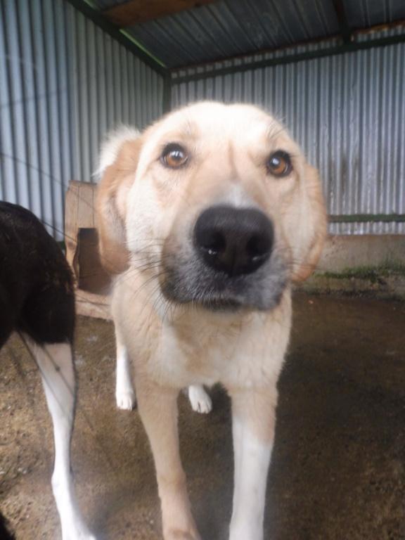 SHYVA - femelle croisée Labrador de taille moyenne à grande, née environ en février 2014 - (Pascani) adoptée par Aurélie (Belgique) - DECEDEE - Page 3 Shyva_12