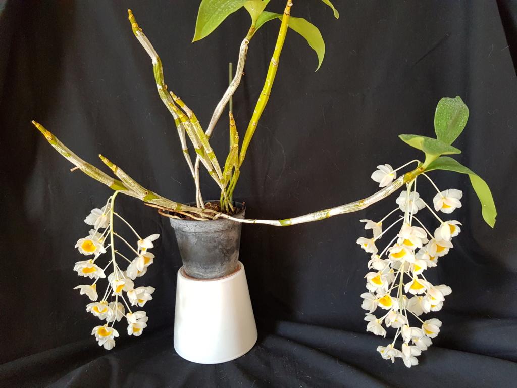 Dendrobium palpebrae ou farmeri 20190210