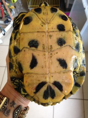 Conseils pour tortue trouvée Img_8411