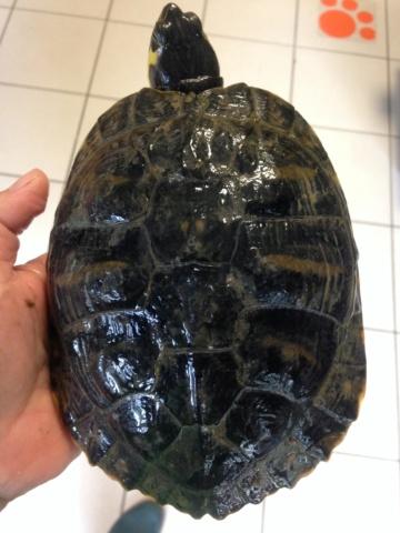 Conseils pour tortue trouvée Img_8412