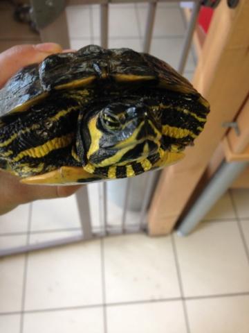 Conseils pour tortue trouvée Img_8413