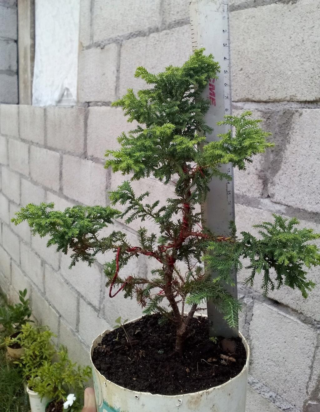 hola, saludos, quisieran ayudarme a identificar mi bonsai, por favor Img_2012
