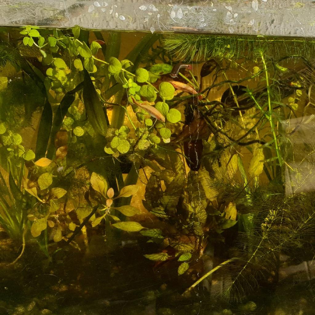 60L low tech/no tech extérieur: Fin de l'expérience, l'aquarium n'est plus ! Img_2026