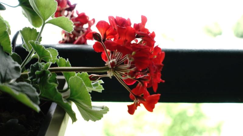 Fleur floue (?) Dsc02212