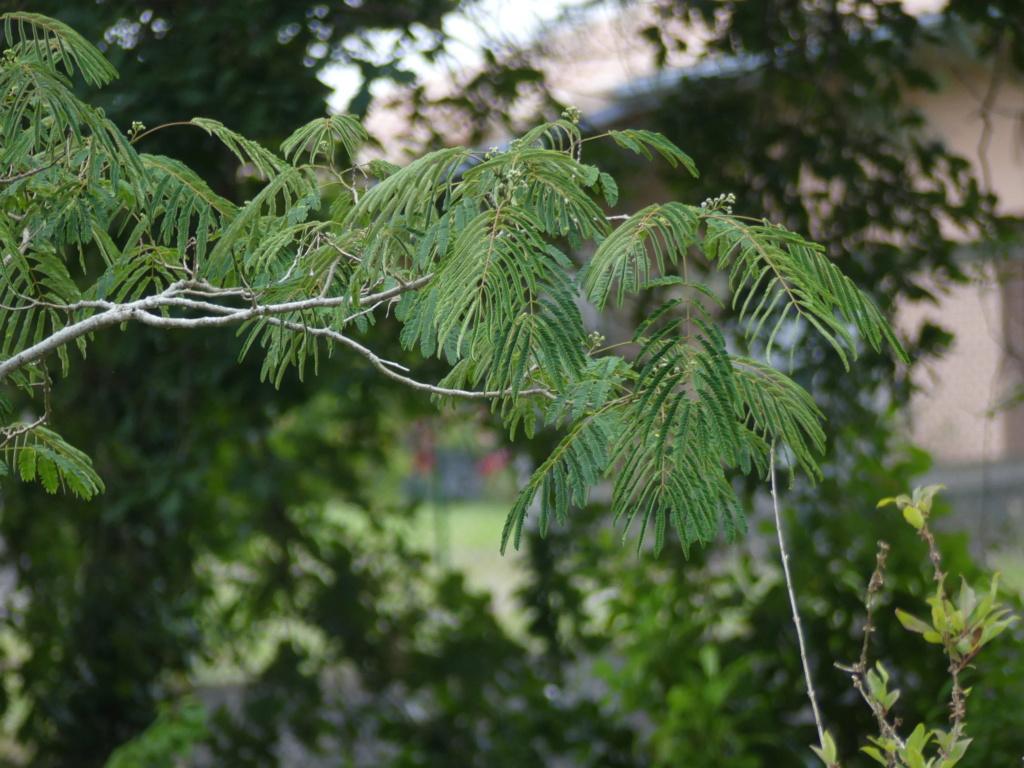 Branche d'arbres (avis) ? P1100310