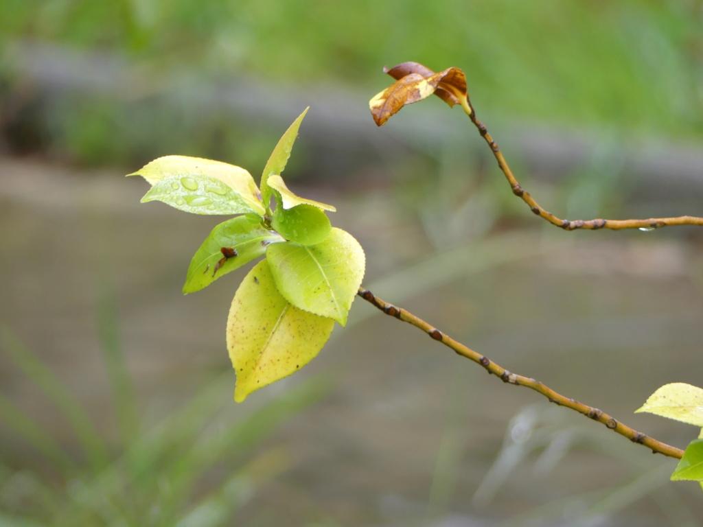 Branche d'arbres (avis) ? P1100312