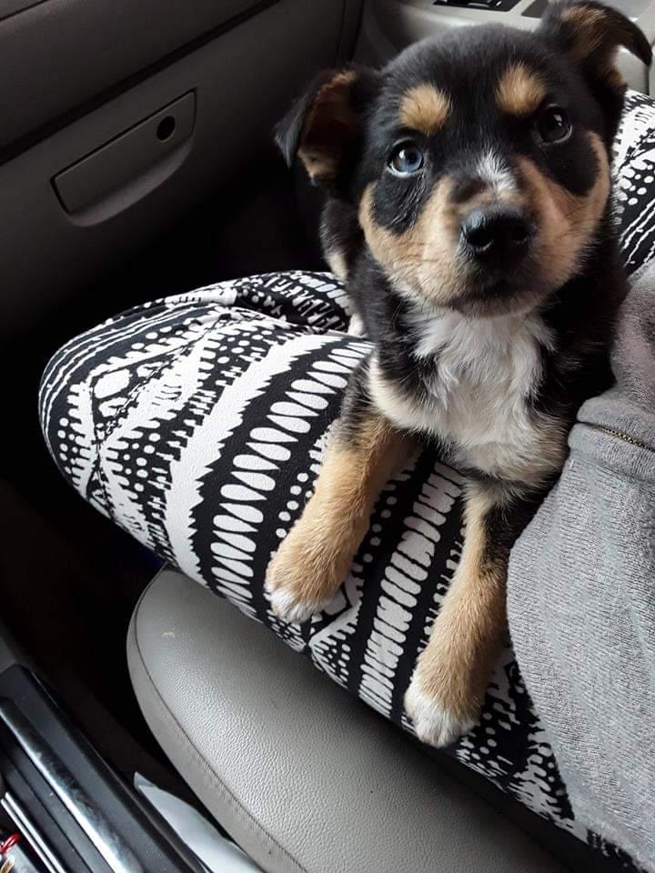 Huskey puppy Fb_img10