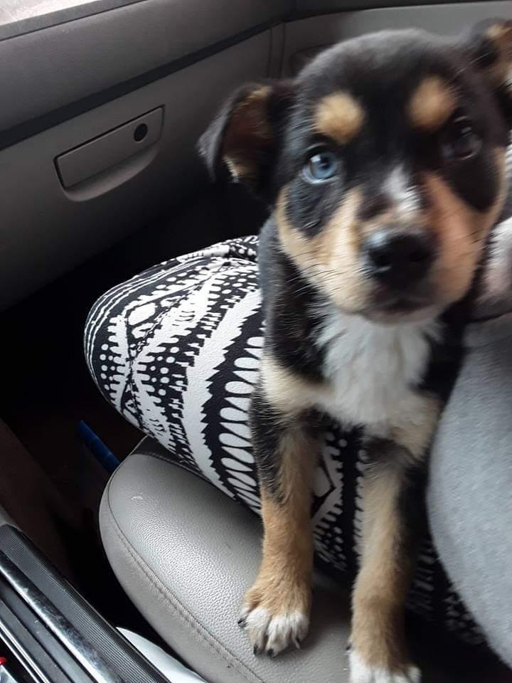 Huskey puppy Fb_img11