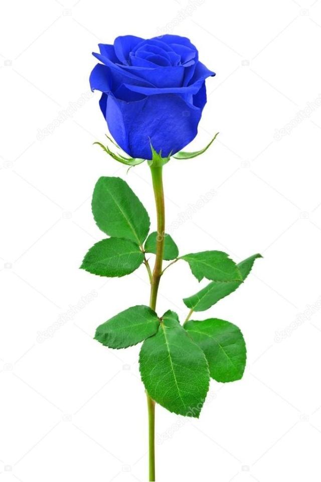 ::Desfile de Rosas AMDA::Hoy se presenta la Rosa Azul AMDA  09c56010