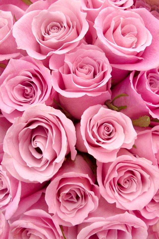 ::Desfile de Rosas AMDA::Hoy se presenta la Rosa Rosa AMDA  816e0d10