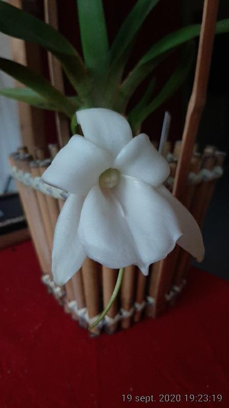 Angraecum magdalenae Img_2018