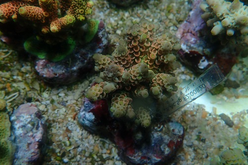 About PixMe Coral Culture and our stock P1172913