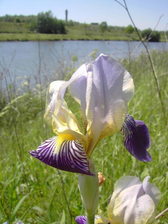 Iris sambucina 022_010