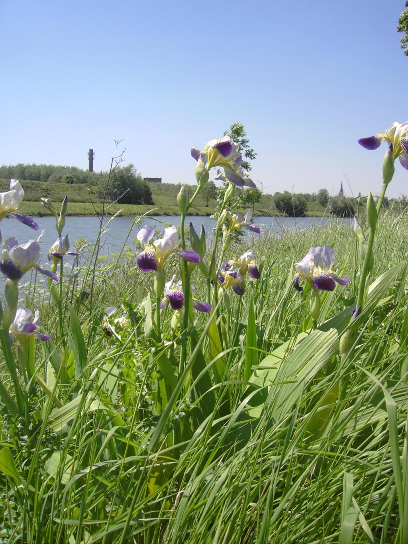 Iris sambucina 023_410