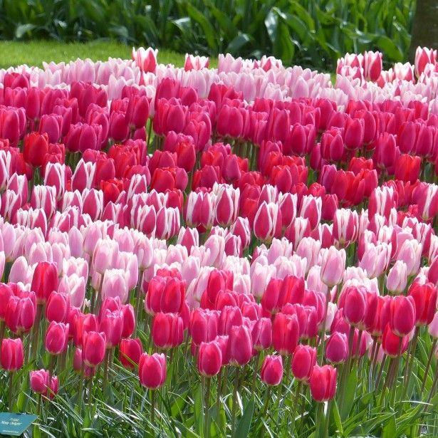 Tulipa - grands hybrides - tulipes chics et kitch (sections 1 à 11) - Page 7 036c5310