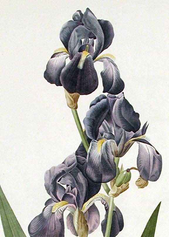 Les Iris plicata - une longue histoire et un bel exemple d'évolution 04164-10