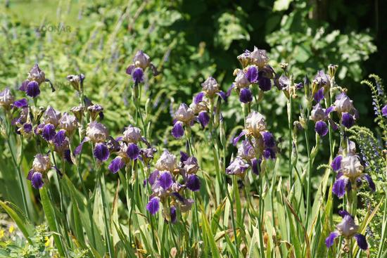 Iris sambucina - variations ? 10_56810