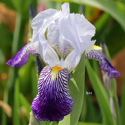 Iris amoena 10_mai10