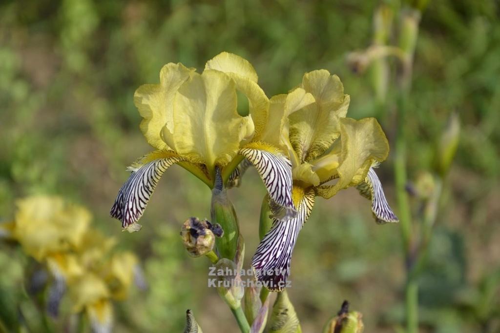Iris 'Jacquesiana' - Jean-Nicolas Lémon 1840 - Page 2 11851610