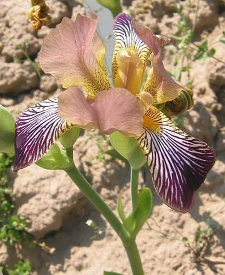 Iris lurida 12439413