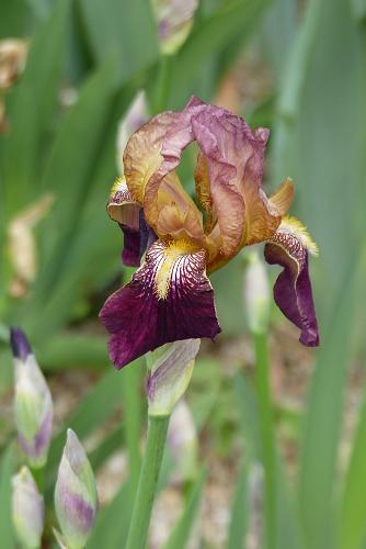 Iris 'Jacquesiana' - Jean-Nicolas Lémon 1840 - Page 2 1840-i10