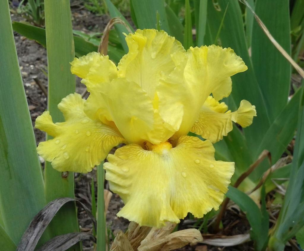 Iris 'Pastis' 20200414
