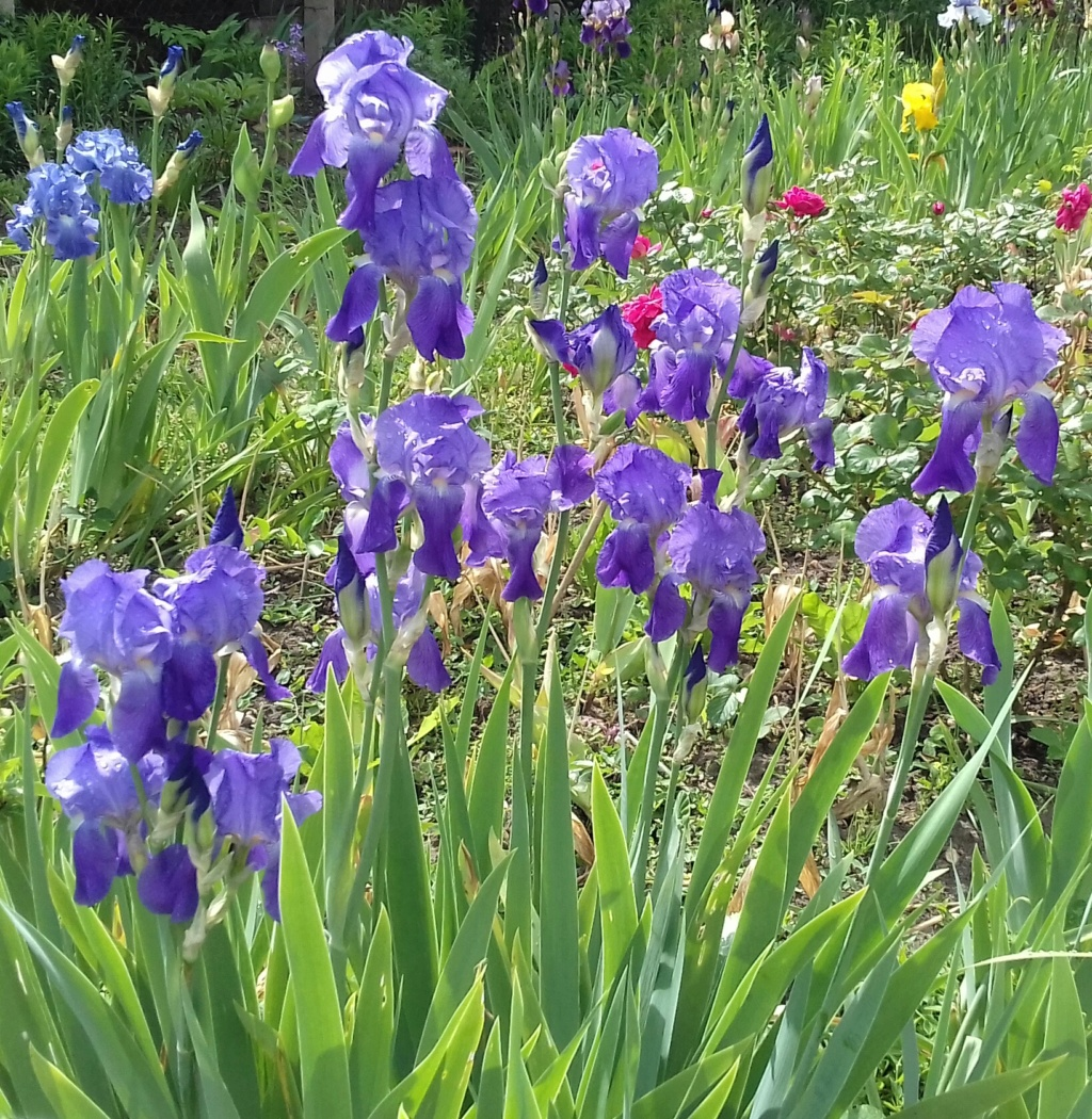 Iris violacea grandiflora 20200528