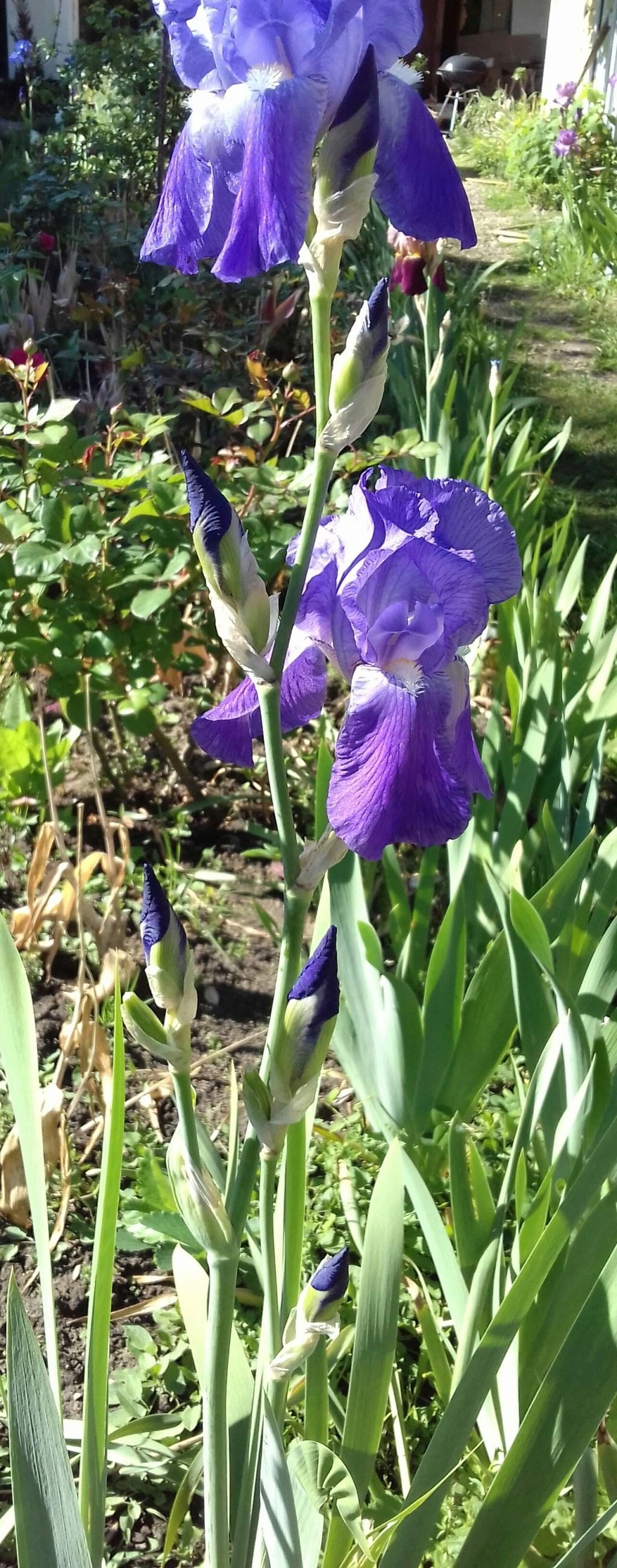 Iris violacea grandiflora 20200530