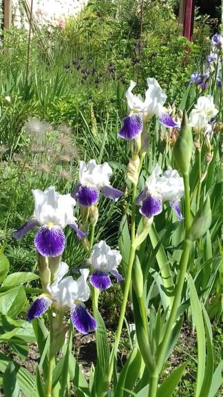 Iris 'Mrs Andrist' ? - Squal [identification en cours] 20200532
