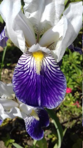 Lémon - iris Victorine ou Mme Lémon ? 20200540