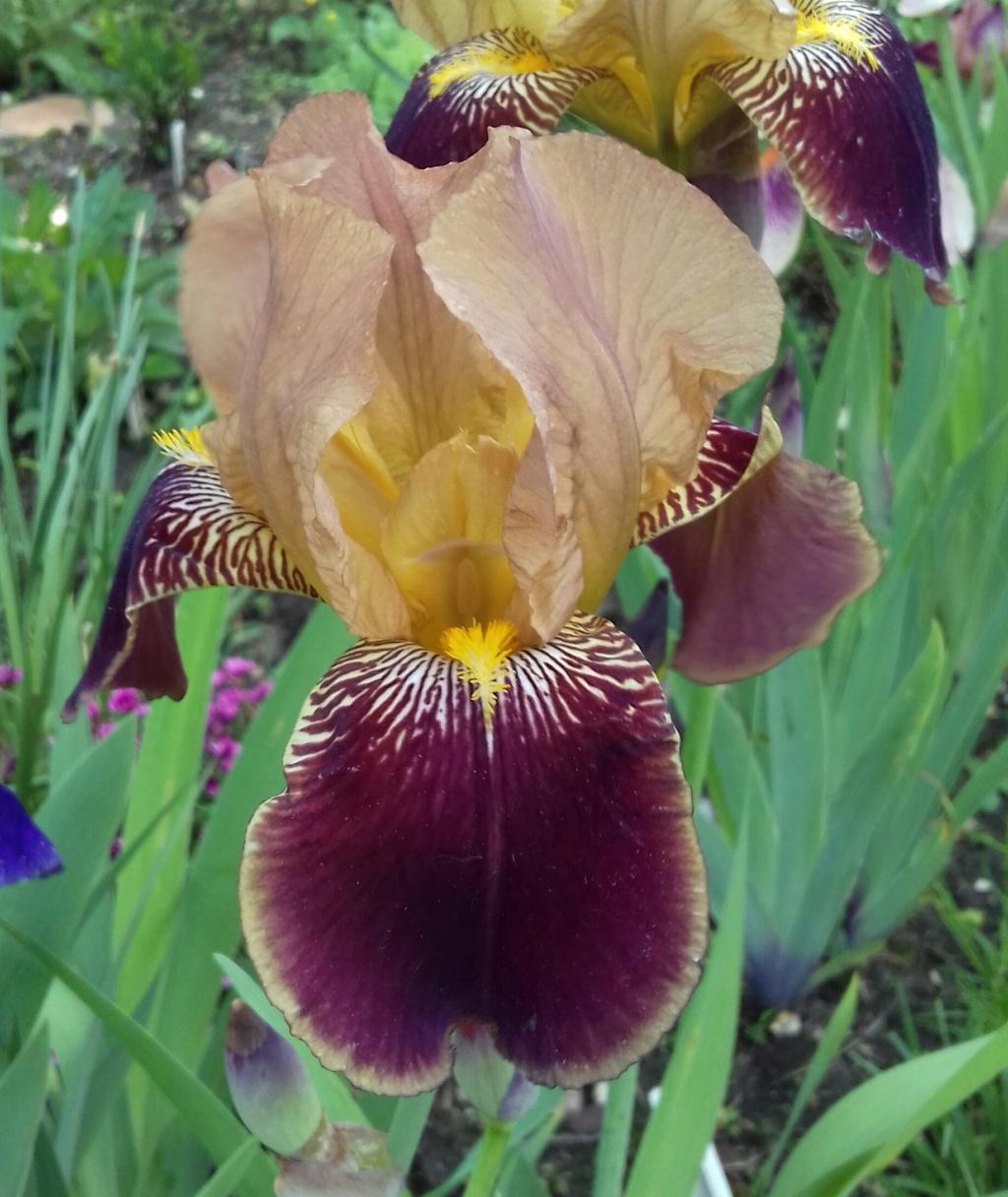 Iris variegata beige et violet - Flora et Lilou [identification en cours] - Page 3 20200545