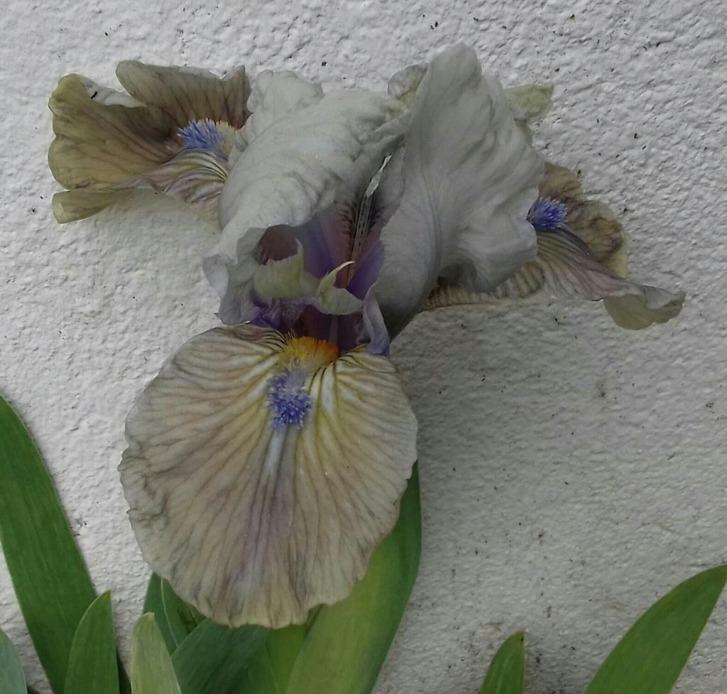 Un Iris nain hâtif à identifier  20210311
