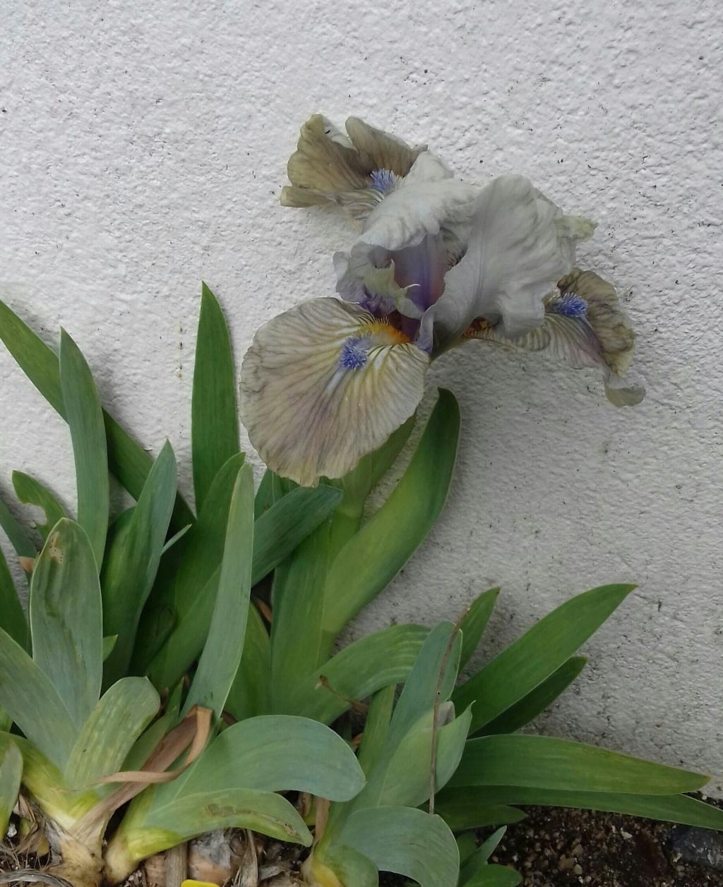 Un Iris nain hâtif à identifier  20210313