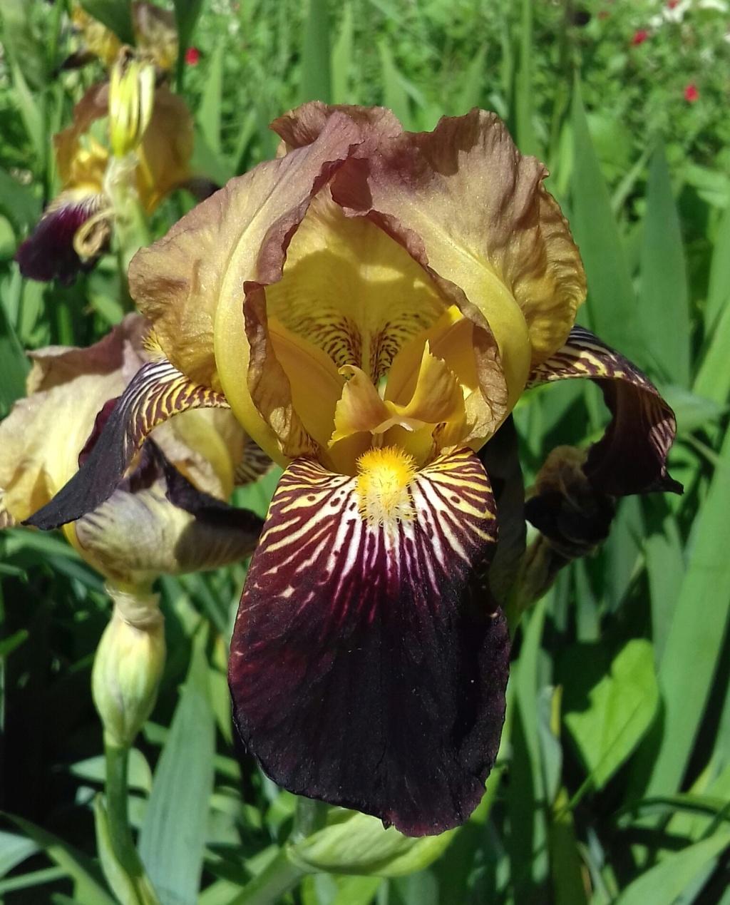 Iris 'Jacquesiana' - Jean-Nicolas Lémon 1840 - Page 2 20210561