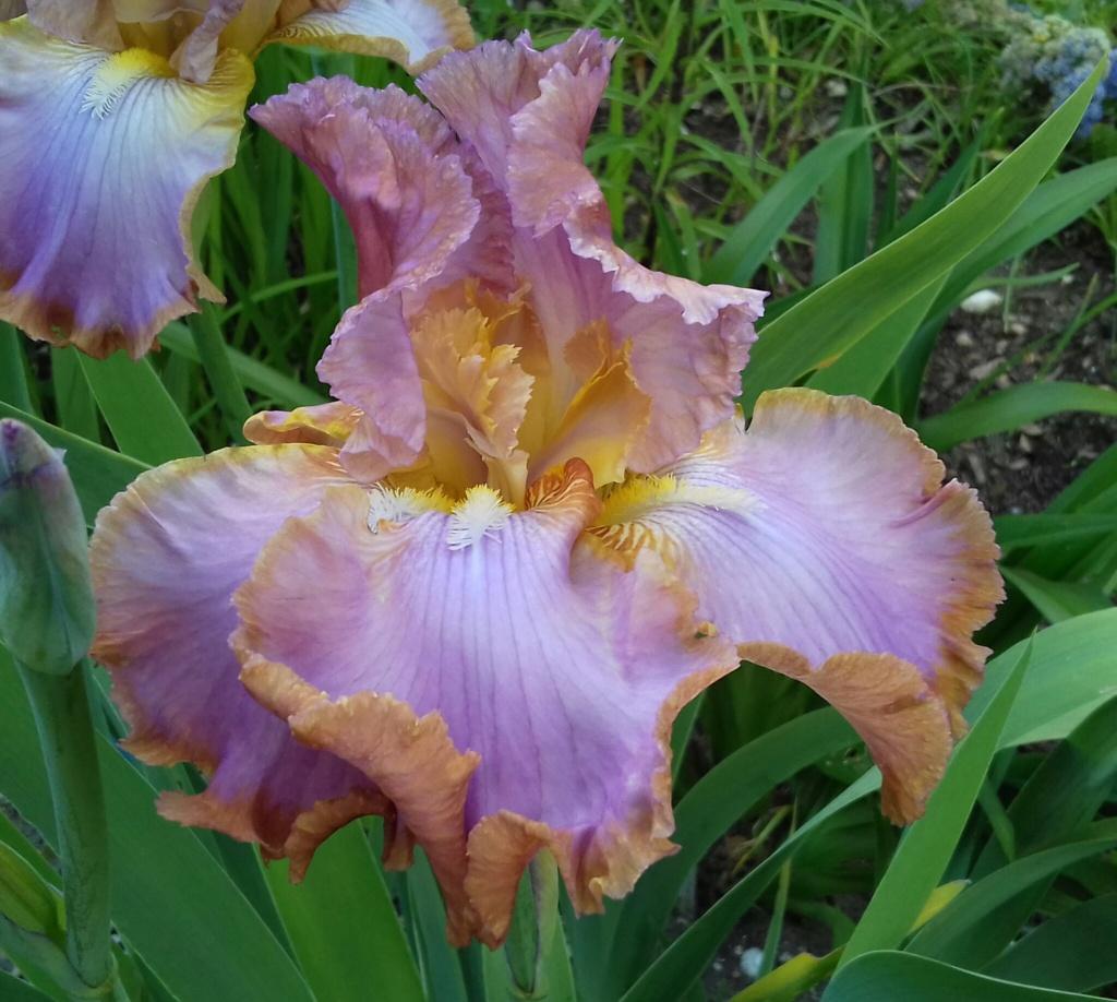 Iris 'Afternoon Delight' - Ernst 1983 20210582