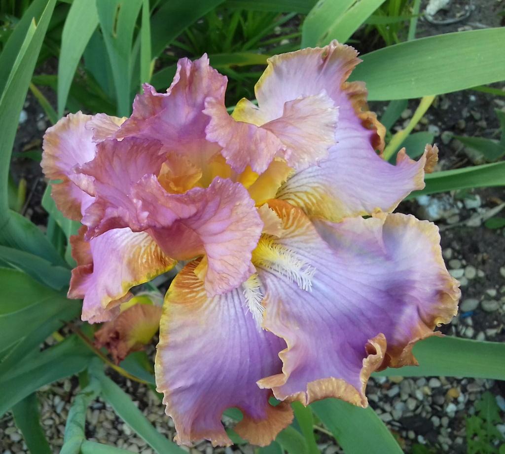 Iris 'Afternoon Delight' - Ernst 1983 20210583
