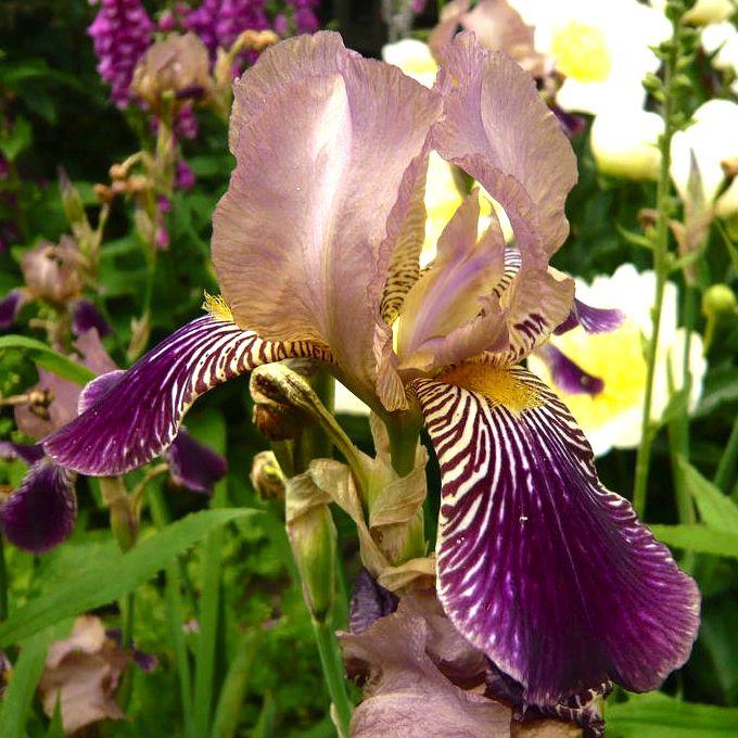 Iris sambucina - variations ? 3a24e611