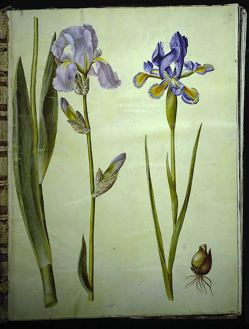 Les iris du XVIIe s. (Gottorfer Codex) 42657110