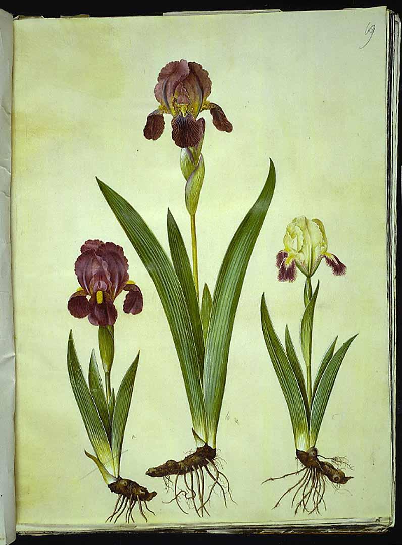 Les iris du XVIIe s. (Gottorfer Codex) 42657610