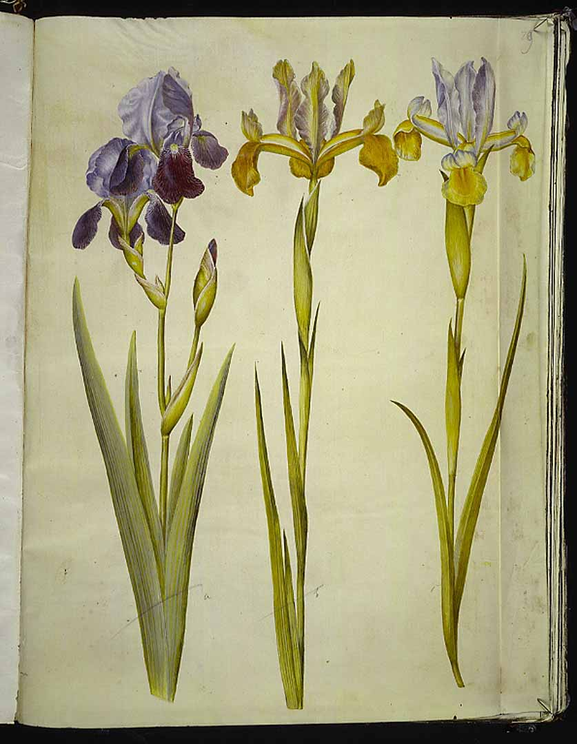 Les iris du XVIIe s. (Gottorfer Codex) 42658710