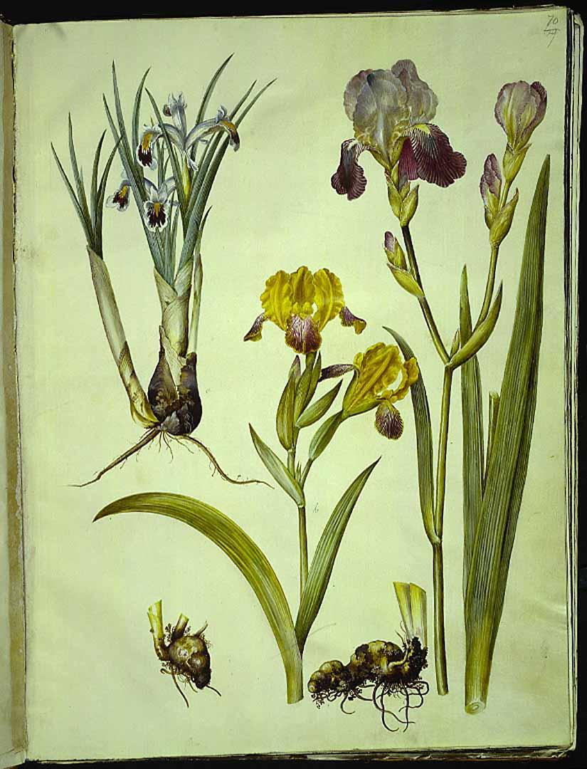 Les iris du XVIIe s. (Gottorfer Codex) 42714510