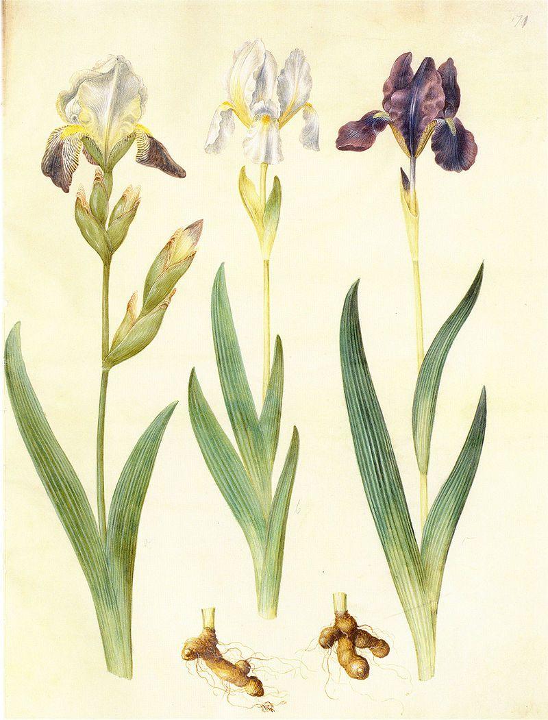 Les iris du XVIIe s. (Gottorfer Codex) A59eed10
