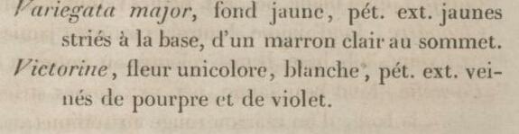 Lémon - iris Victorine ou Mme Lémon ? Annale12
