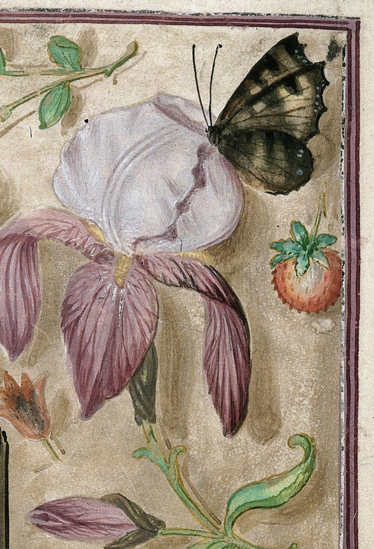 Iris sambucina - variations ? Brit_l10