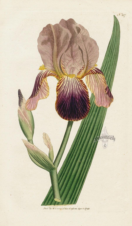 Iris sambucina Cfe18710