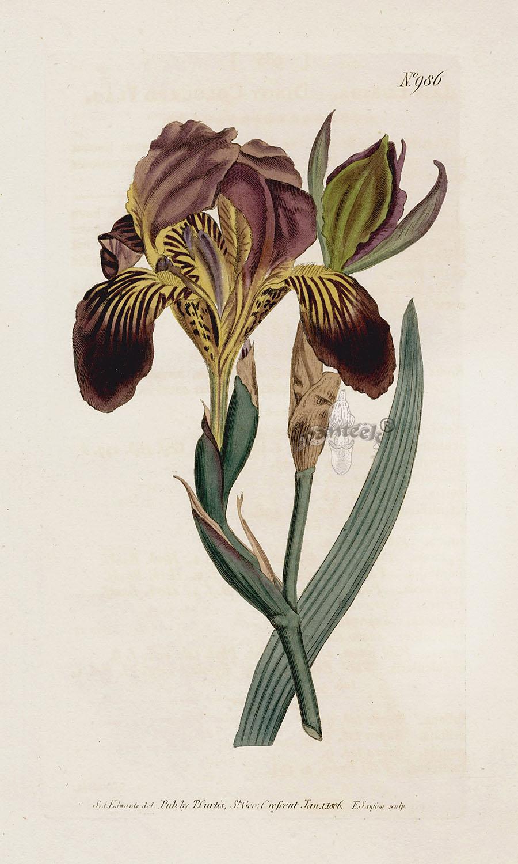 Iris lurida Cur98610