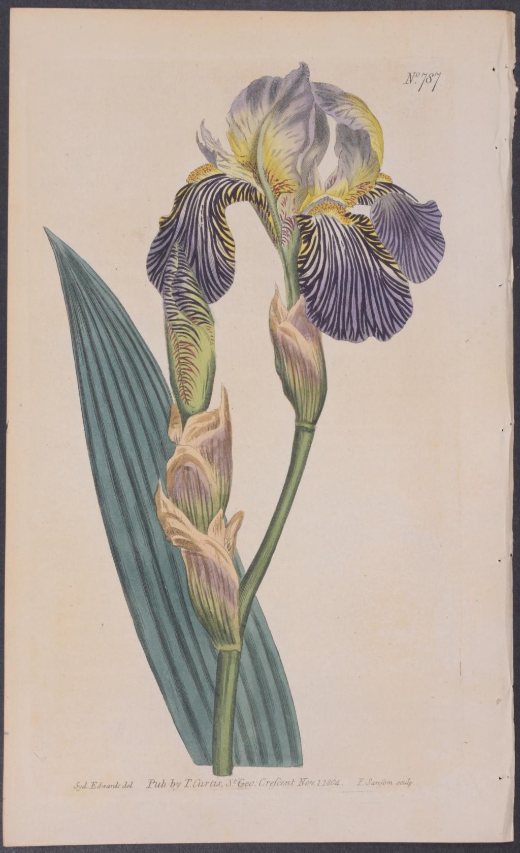 Iris squalens Curtis12