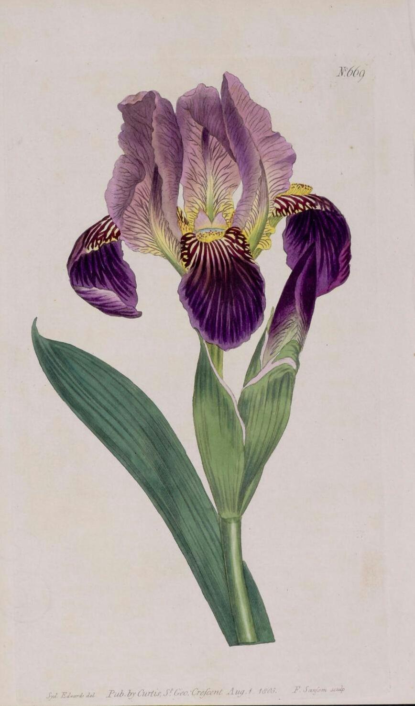 Iris lurida Curtis13