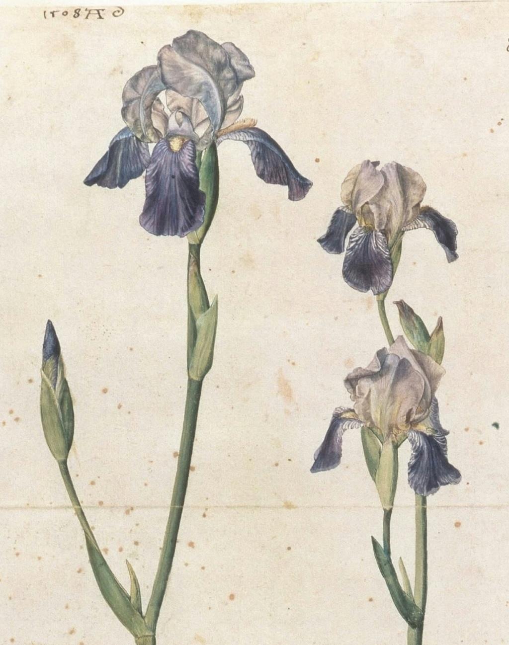 Iris sambucina - variations ? Dzrer_10
